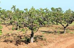 Frutteto del fico vicino a Mola di Bari, Italia Immagine Stock Libera da Diritti