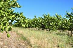 Frutteto del limone Immagini Stock Libere da Diritti