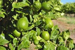 Frutteto del limone Fotografie Stock Libere da Diritti
