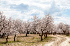 Frutteto del mandorlo Fotografie Stock Libere da Diritti