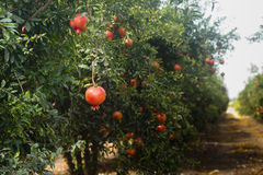 Frutteto del melograno con frutta Immagini Stock
