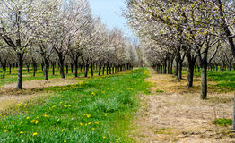 Frutteto del Michigan dei ciliegi di fioritura Fotografia Stock