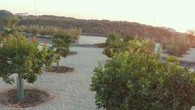Frutteto dell'agrume sui pendii di collina spagnoli stock footage