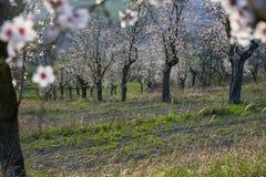 Frutteto della mandorla con i fiori di primavera Fotografia Stock