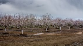 Frutteto della mandorla negli inverni California Fotografia Stock Libera da Diritti