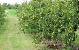 Frutteto della pera Fotografia Stock Libera da Diritti