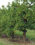 Frutteto della pera Immagini Stock