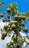 Frutteto della pera Fotografie Stock Libere da Diritti