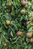 Frutteto della pera Immagine Stock Libera da Diritti