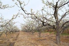 Frutteto della pera Fotografia Stock