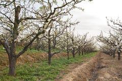 Frutteto della pera della primavera Fotografia Stock Libera da Diritti