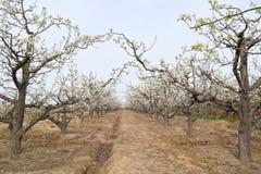 Frutteto della pera della primavera Immagini Stock