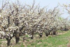 Frutteto della pera della primavera Fotografia Stock