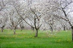Frutteto della pera della primavera in fiore Fotografia Stock Libera da Diritti