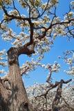 Frutteto della pera della sorgente Fotografie Stock