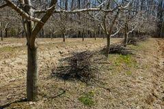 Frutteto della prugna su attività di pulizie di primavera Immagine Stock Libera da Diritti