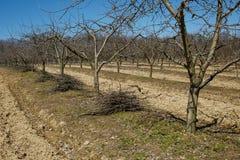 Frutteto della prugna su attività di pulizie di primavera Immagini Stock Libere da Diritti
