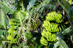 Frutteto delle banane Fotografia Stock Libera da Diritti
