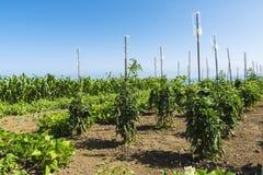 Frutteto delle verdure con il sistema del gocciolamento in Spagna Fotografie Stock