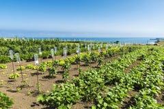 Frutteto delle verdure con il sistema del gocciolamento in Spagna Fotografie Stock Libere da Diritti