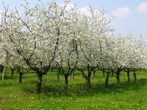 Frutteto di ciliegia 1 Fotografia Stock Libera da Diritti