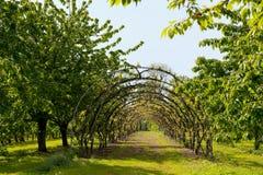 frutteto di ciliegia Immagini Stock Libere da Diritti