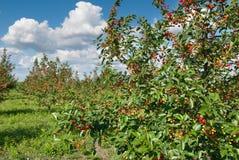 Frutteto di ciliegia Fotografie Stock