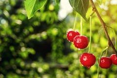 Frutteto di ciliegia, ciliegio, visciole mature che crescono sulla ciliegia Immagini Stock Libere da Diritti