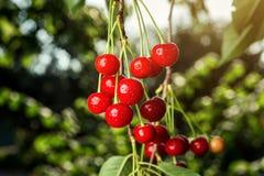 Frutteto di ciliegia, ciliegio, visciole mature che crescono sulla ciliegia Fotografia Stock