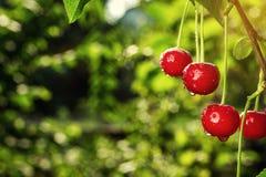 Frutteto di ciliegia, ciliegio, visciole mature che crescono sulla ciliegia Immagini Stock