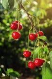 Frutteto di ciliegia, ciliegio, visciole mature che crescono sulla ciliegia Fotografia Stock Libera da Diritti