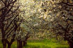 Frutteto di ciliegia della primavera Boemia del sud Lhenice Immagine Stock Libera da Diritti