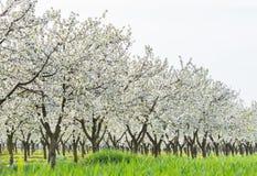 Frutteto di ciliegia di fioritura Immagine Stock