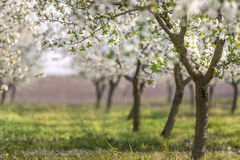 Frutteto di ciliegia di fioritura Fotografia Stock