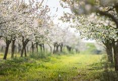 Frutteto di ciliegia di fioritura Fotografie Stock