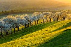 Frutteto di ciliegia di mattina in un piccolo villaggio in Slovacchia Fotografia Stock Libera da Diritti