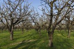 Frutteto di ciliegia in fiore con primavera, sguardo da vicino Fotografia Stock Libera da Diritti