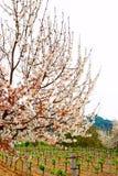 Frutteto di ciliegia in Kirazli, Turchia Fotografie Stock