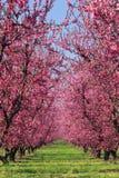 Frutteto di ciliegia in primavera Fotografia Stock