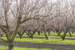 Frutteto di fioritura degli alberi di albicocca in primavera Immagine Stock Libera da Diritti