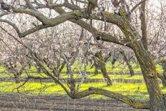 Frutteto di fioritura dell'albero di albicocca in primavera Immagine Stock