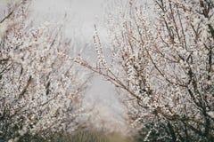 Frutteto di fioritura dell'albicocca Fotografia Stock
