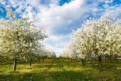Frutteto di fioritura della ciliegia con i denti di leone Fotografia Stock Libera da Diritti