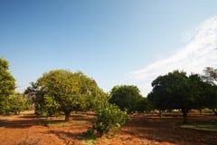 Frutteto di frutta arancio Fotografia Stock Libera da Diritti