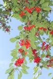 Frutteto di frutta con le ciliege rosse fresche in un cielo blu Fotografia Stock Libera da Diritti