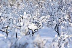 Frutteto di frutta in inverno Immagini Stock