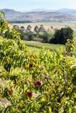 Frutteto di frutta organico, Tasmania Fotografia Stock