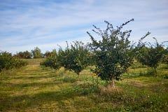Frutteto di frutta su un'azienda agricola Fotografie Stock Libere da Diritti