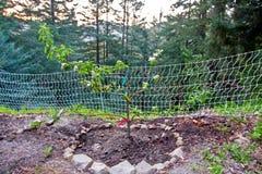 Frutteto di melo della montagna di Santa Cruz California Immagine Stock Libera da Diritti