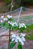 Frutteto di melo della montagna di Santa Cruz California Immagine Stock